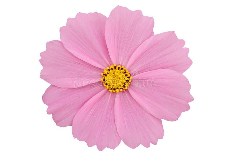在与裁减路线的白色背景隔绝的美丽的桃红色波斯菊花 库存照片