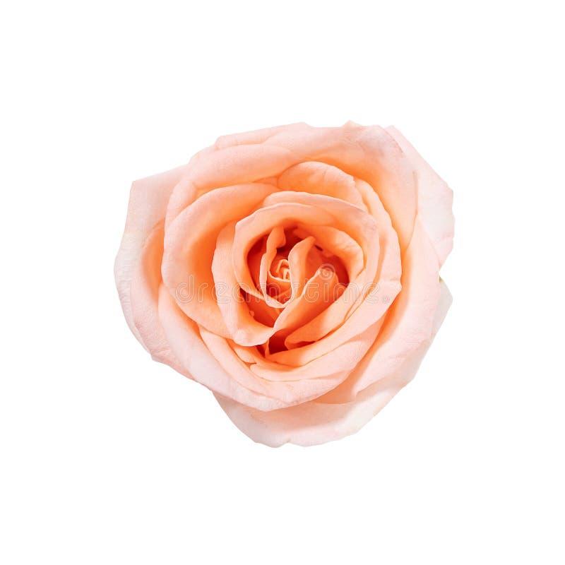 在与裁减路线的白色背景隔绝的顶视图唯一桃红色玫瑰色花开花 库存图片
