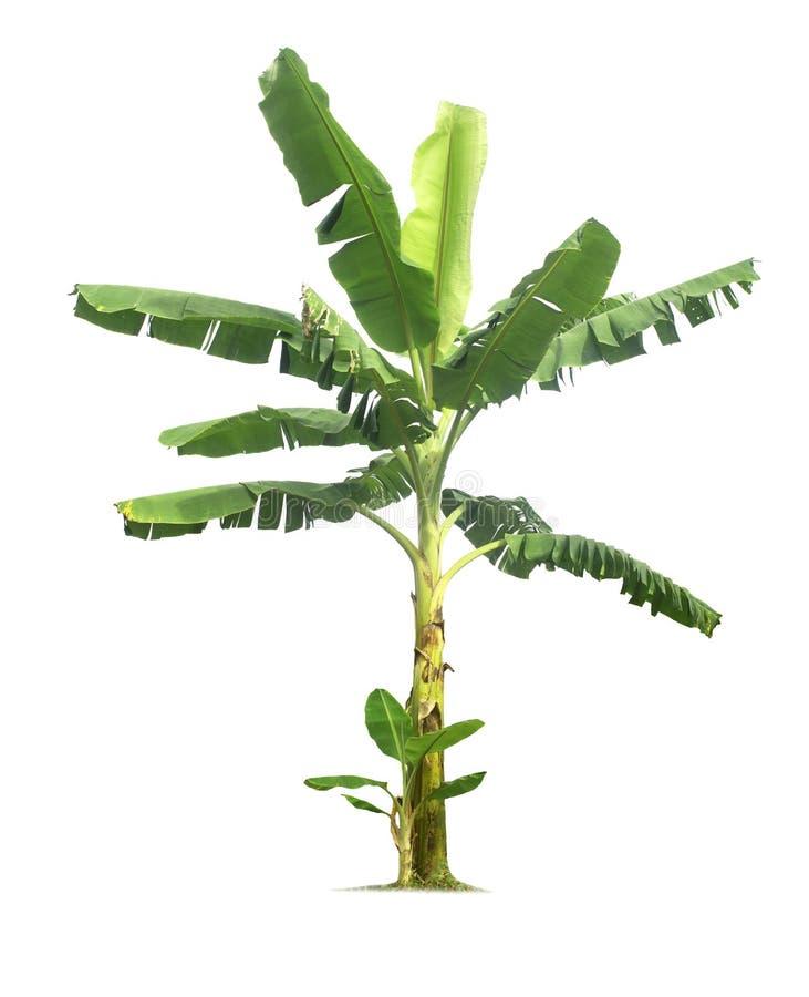 在与裁减路线的白色背景隔绝的香蕉树 免版税库存图片