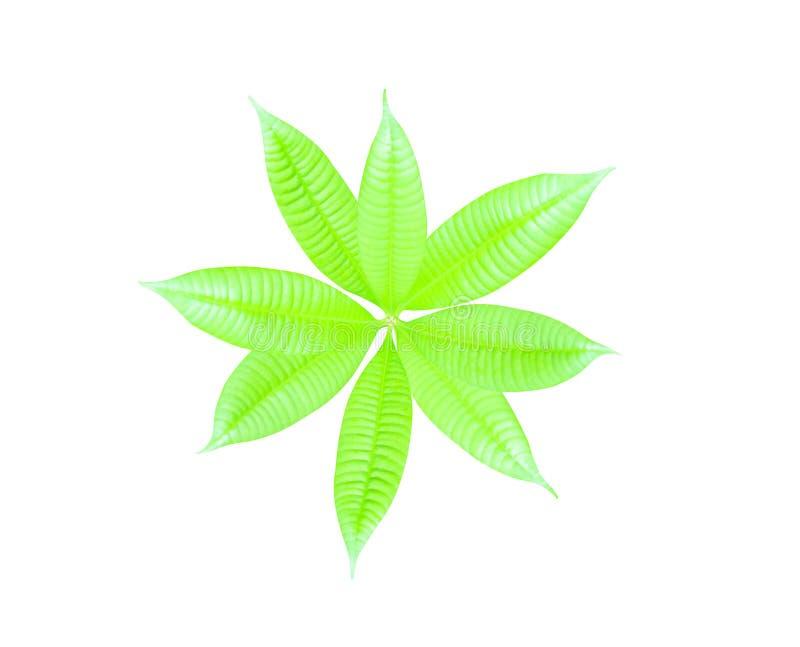 在与裁减路线的白色backgroun隔绝的芒果树顶视图年轻绿色叶子 皇族释放例证