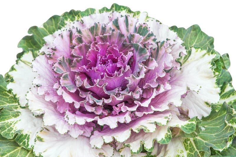 在与裁减路线,自然装饰菜的白色背景或芸苔的关闭隔绝的紫色圆白菜 库存图片