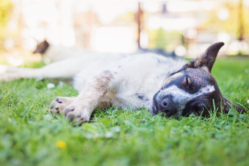 在与延伸的爪子的绿草的愉快的狗 库存图片
