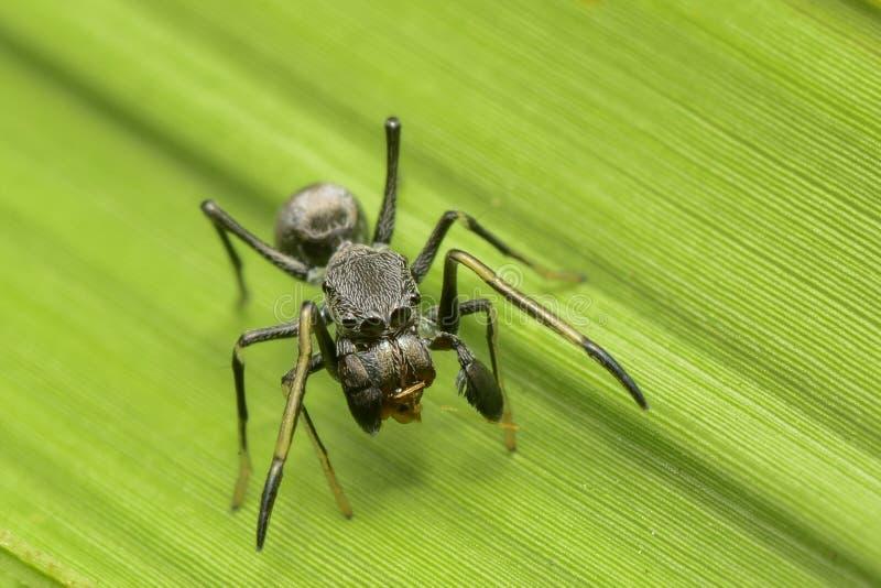 在世界的巨型蚂蚁蜘蛛 免版税库存图片