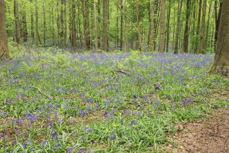在丛林的会开蓝色钟形花的草 库存图片