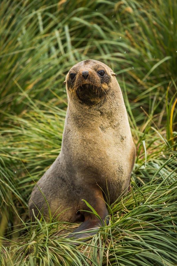 在丛草供以座位的南极海狗 免版税图库摄影