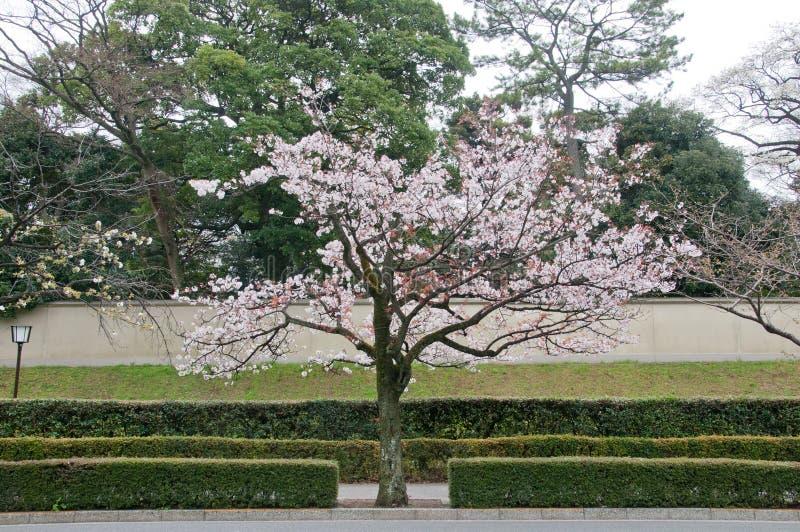 在东京日本迷住白色桃红色佐仓樱花树 图库摄影