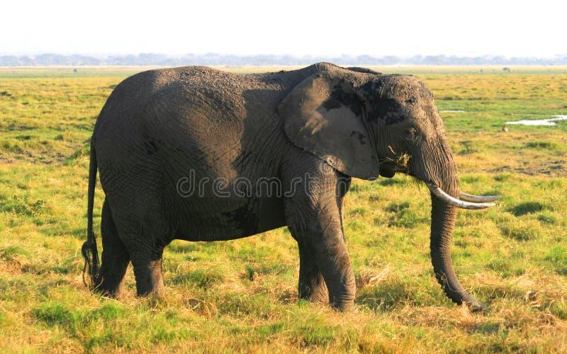 在东非草原的非洲大象 免版税图库摄影