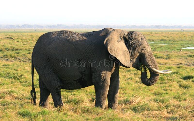 在东非草原的非洲大象 图库摄影