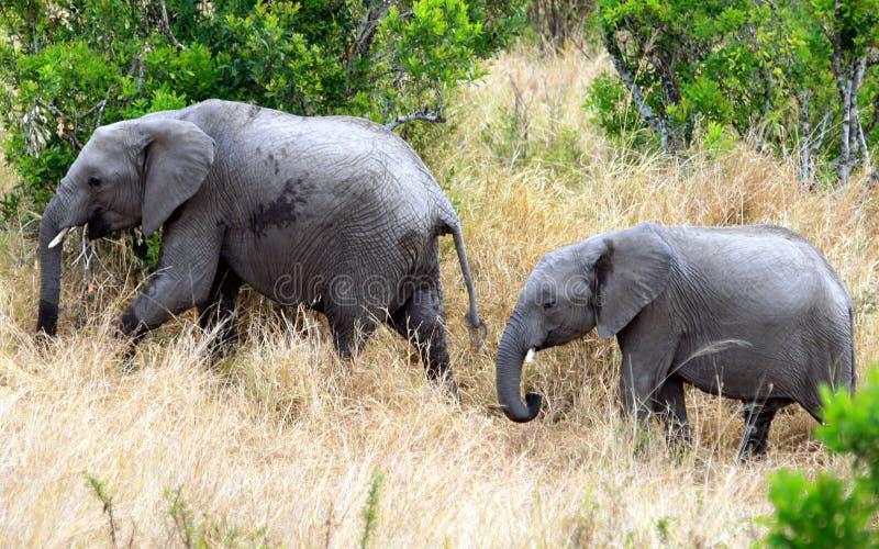 在东非草原的非洲大象 库存照片