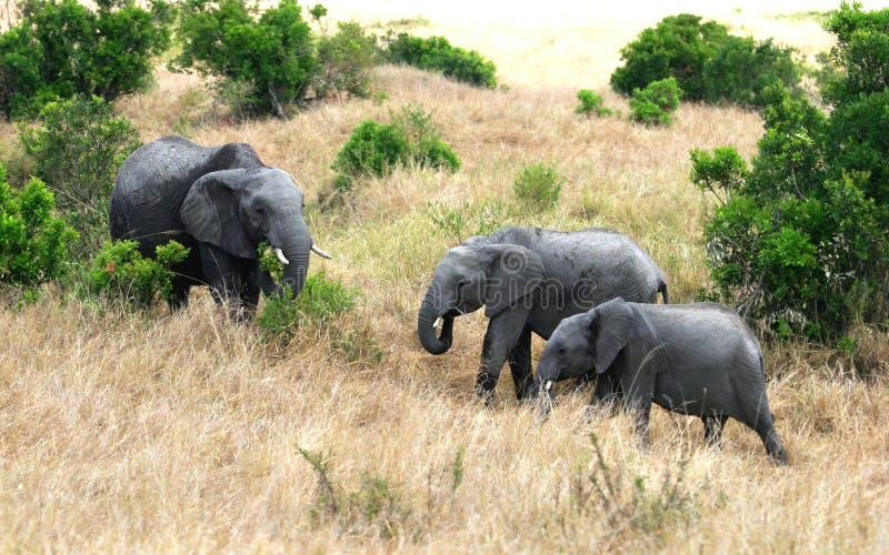 在东非草原的非洲大象 库存图片