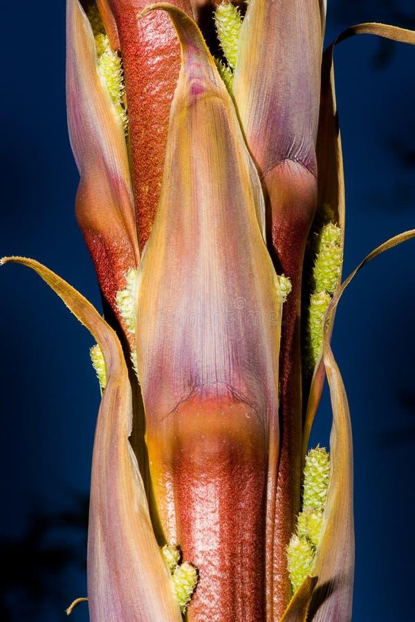 在丝兰厂的茎的种子 免版税库存照片