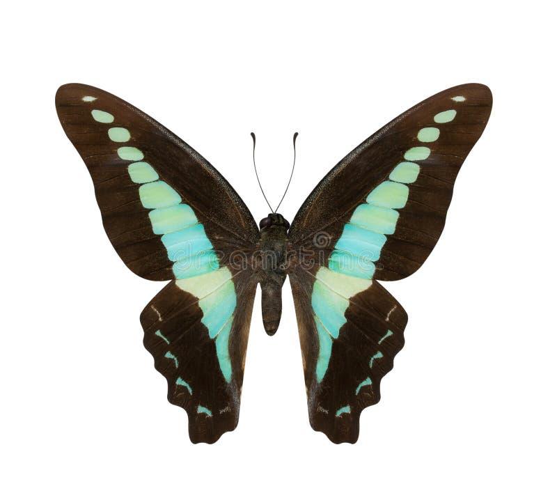 在丝毫和蓝色蝴蝶Hypolimnas monteironis隔绝的布朗 免版税库存照片