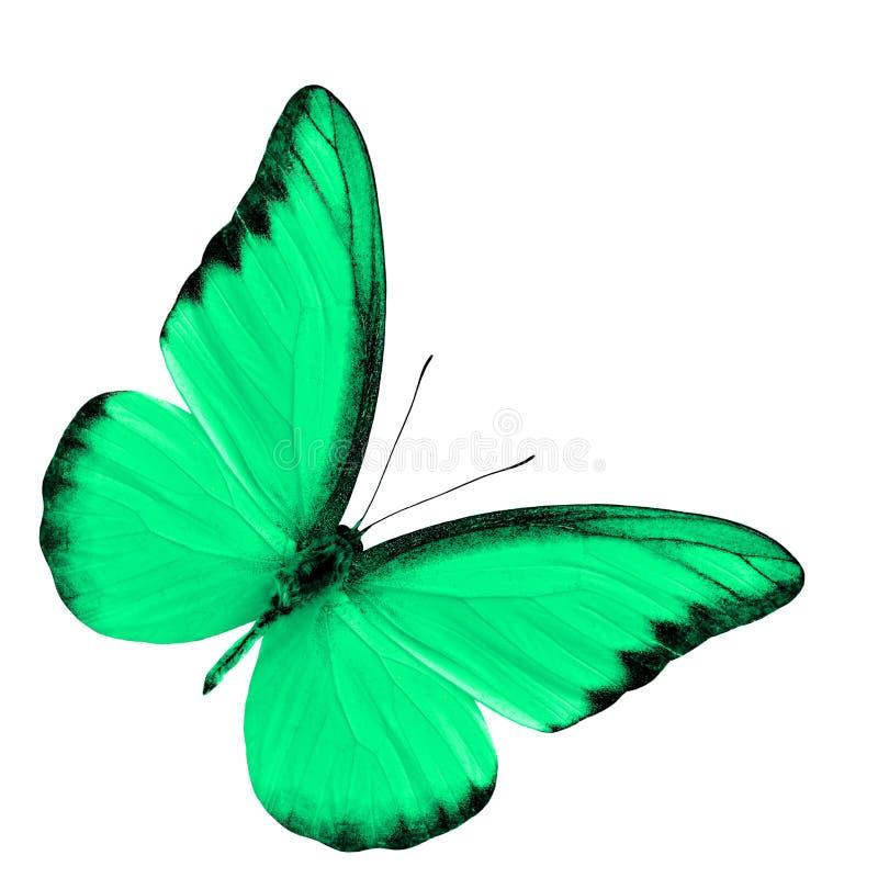 在丝毫在花梢绿色的异乎寻常的巧克力信天翁隔绝的 库存图片