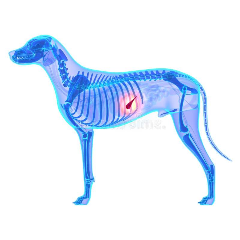 在丝毫-天狼犬座Familiaris解剖学-隔绝的狗胰腺 库存图片
