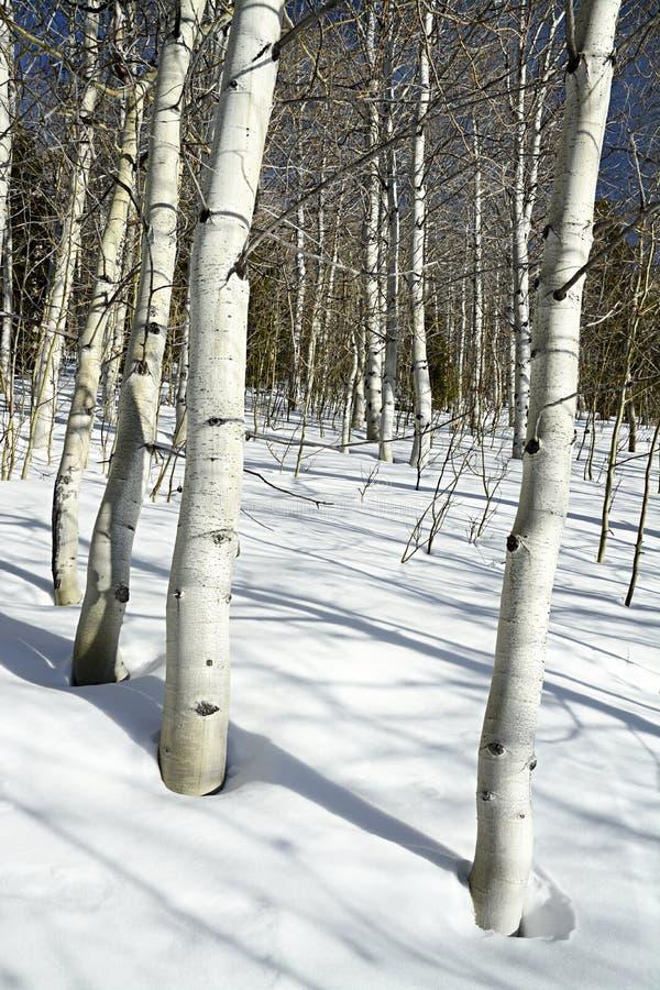 在中午以后在有白杨木和雪的森林里 库存图片