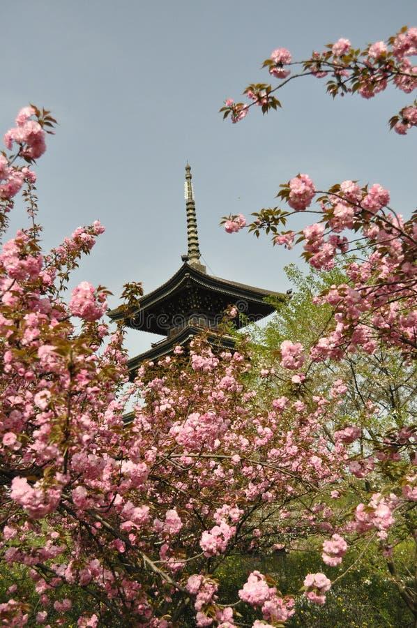 在中国的公园的樱花 免版税库存照片