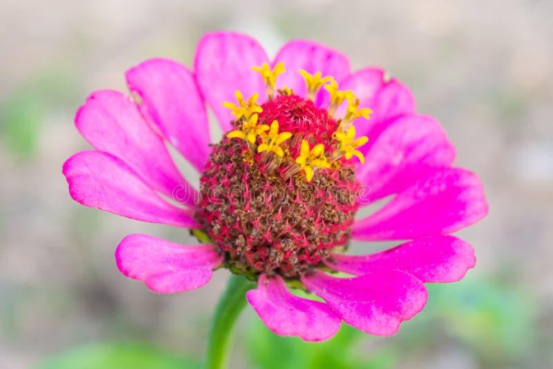 在中心特写镜头的桃红色百日菊属花 免版税库存照片