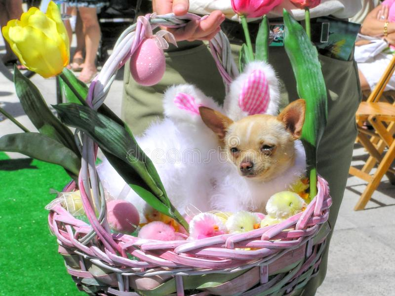 在为复活节装饰的一个柳条筐的一条狗 库存照片