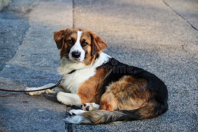 在主角的白色黑棕色狗与说谎在街道上的庄严的面孔 免版税库存图片