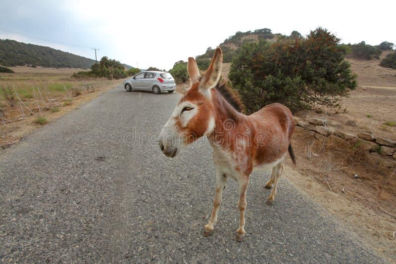 在主路,在距离的汽车的狂放的驴身分 这些动物在北赛普勒斯土耳其共和国的Karpass地区自由地漫游 图库摄影