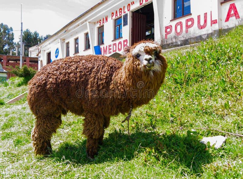 在乌尤尼盐沼的领域的骆马在玻利维亚 库存照片