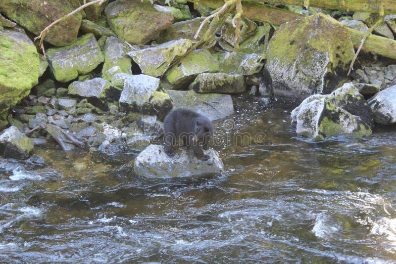 在乌山头水库熊观测所的黑熊在Wrangell阿拉斯加附近的夏天 免版税库存图片