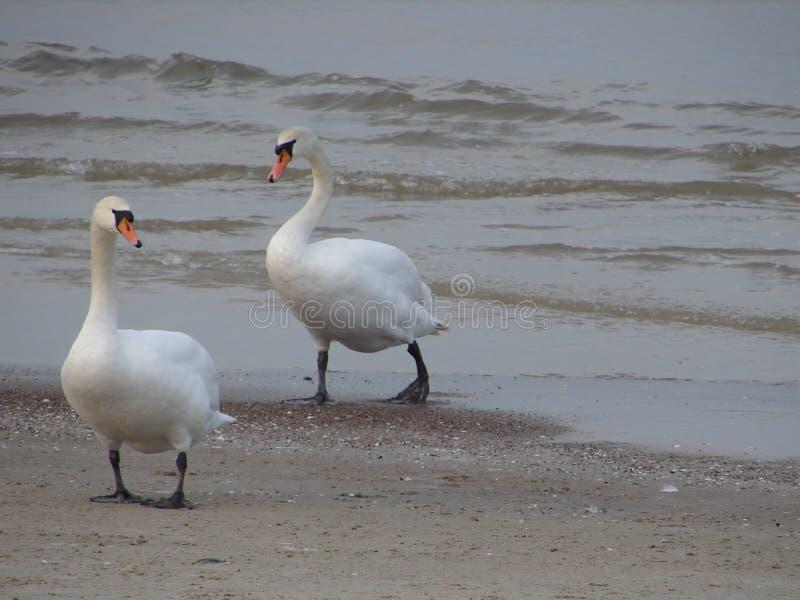 在乌斯特卡海滩波兰的天鹅在冬天 库存图片