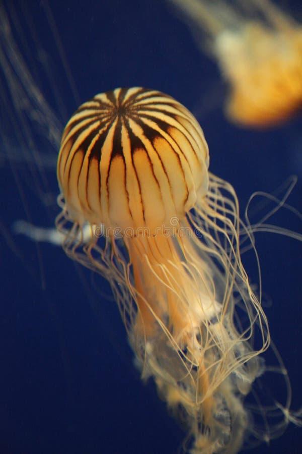 在乔治亚水族馆的抽象水母 免版税图库摄影