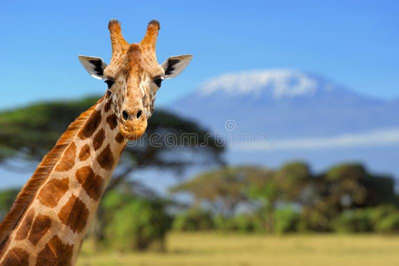 在乞力马扎罗山前面的长颈鹿 免版税库存图片