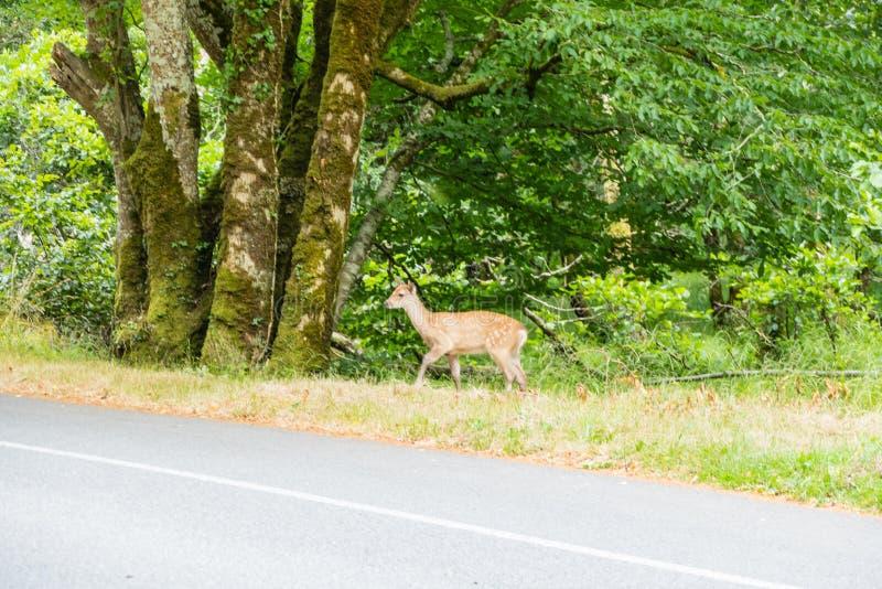 在乡下公路的小的鹿 免版税库存照片