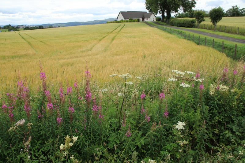 在乡下的开花的Rosebay柳草在斯特灵在夏天 库存照片