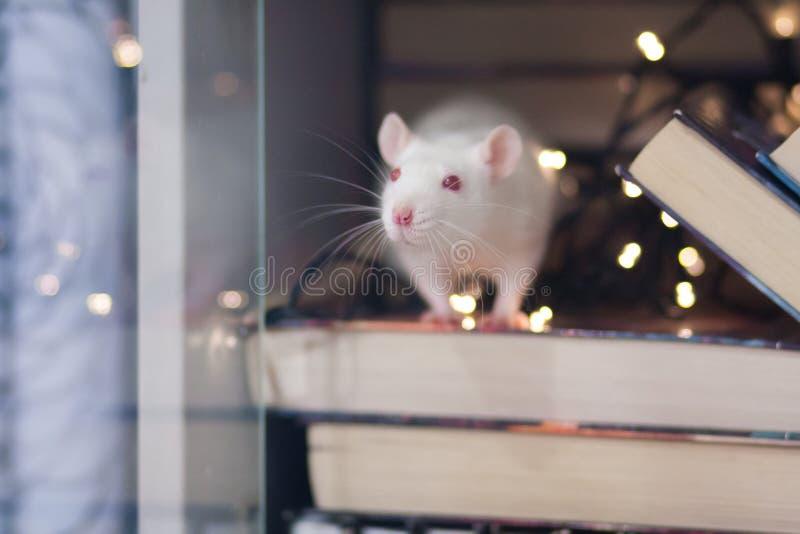 新年假日概念 在书橱的白色鼠 ?? 免版税库存照片