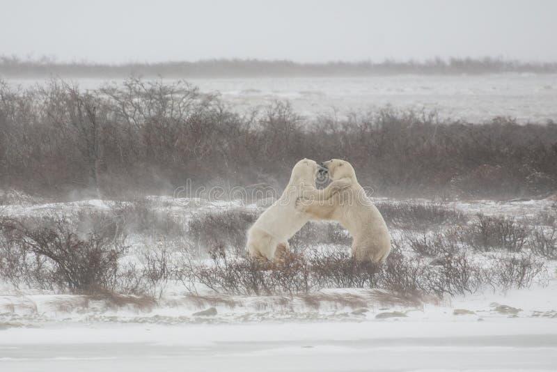 在争吵期间/战斗,男性北极熊Standng和劫掠 免版税库存照片