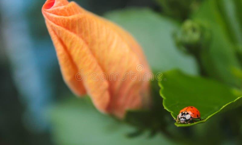 在事假和橙色花的瓢虫 库存照片