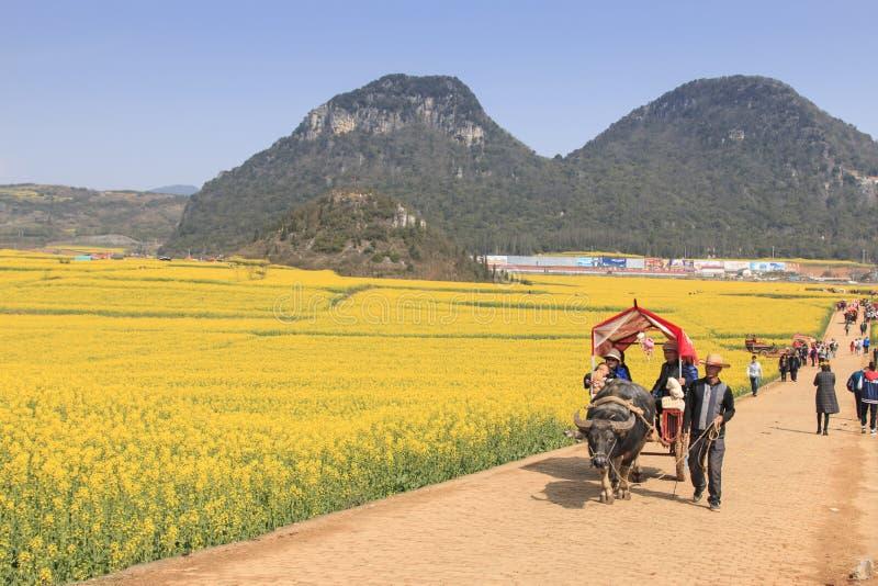 在云南中国供以人员乘坐游人的一waterbuffalo在罗平中的油菜籽花田 免版税库存照片