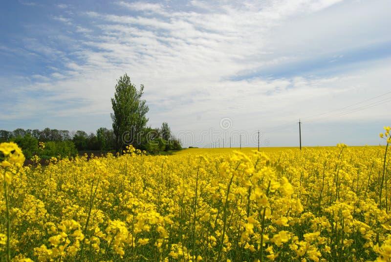 在云彩背景的耕地开花的黄色领域  免版税库存照片