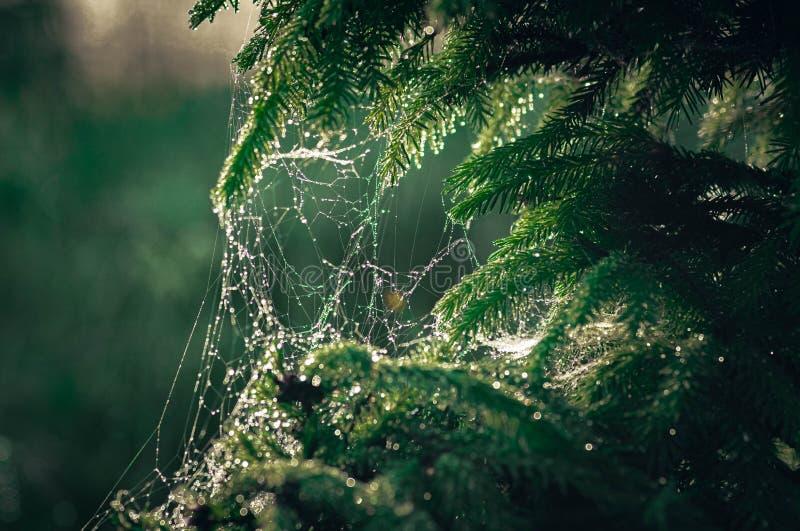 在云杉的分支的蜘蛛网与早晨露水下落在日出的在阳光 库存图片