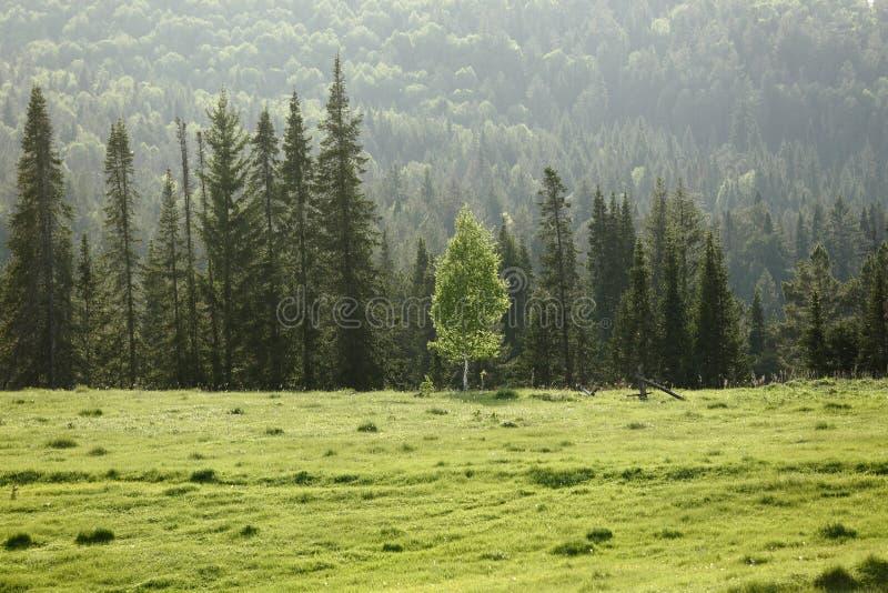 在云杉的森林背景的偏僻的桦树  免版税图库摄影