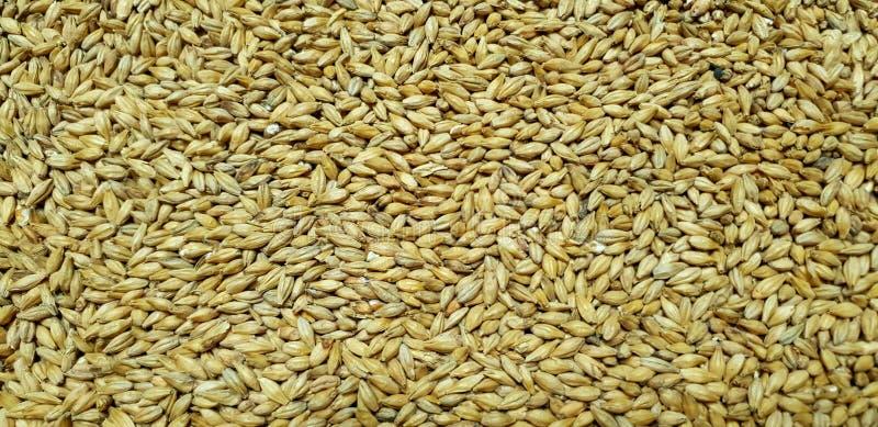 在五谷的大麦麦芽 免版税图库摄影