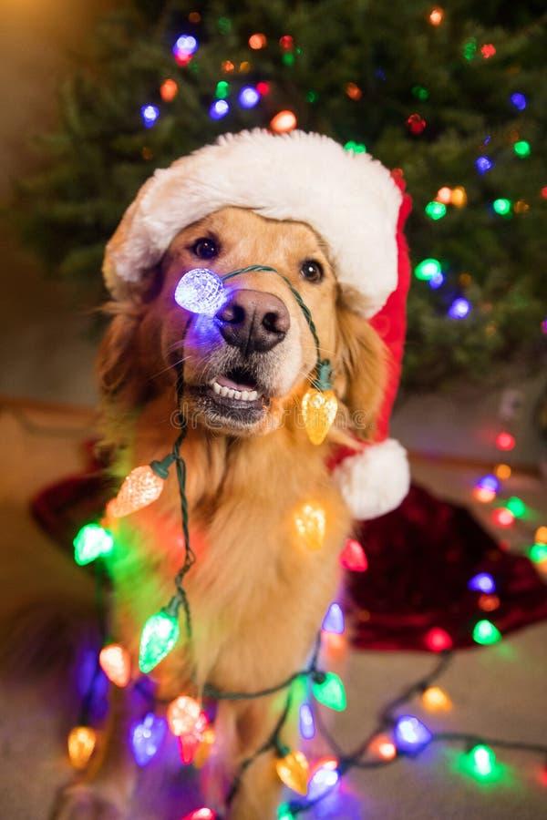 在五颜六色的圣诞灯包裹的金毛猎犬狗 免版税库存照片