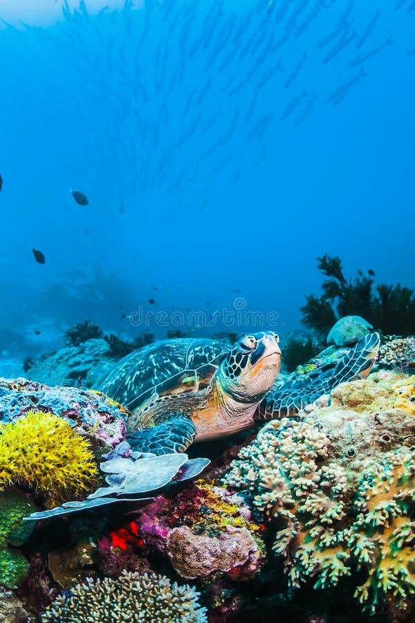 在五颜六色的珊瑚礁水下和蓝色背景的绿浪乌龟 免版税图库摄影