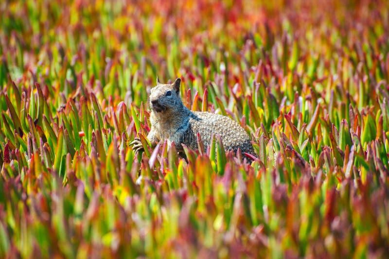 在五颜六色的花中被栖息的地松鼠 库存图片