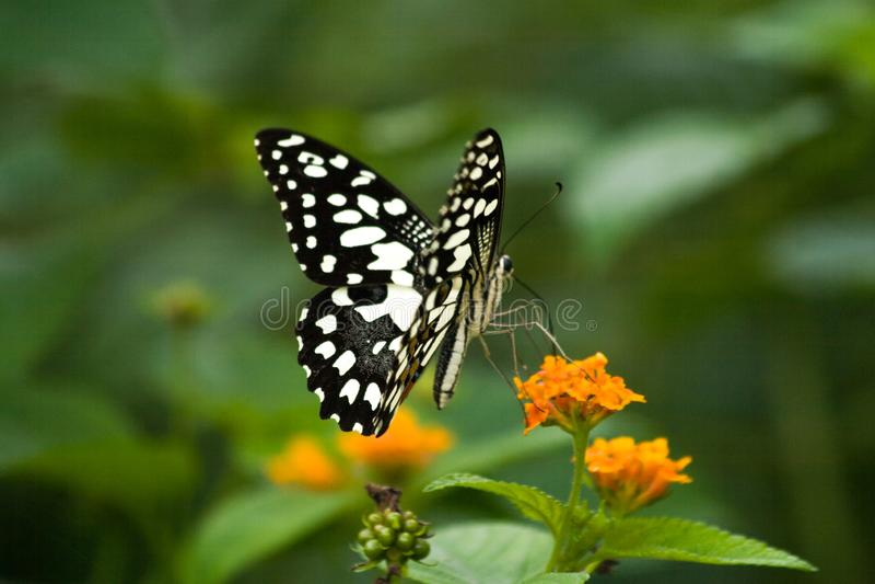 在五颜六色的马樱丹属花的蓝色石灰蝴蝶 免版税库存照片
