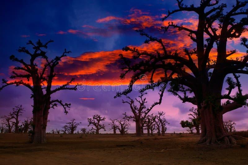 在五颜六色猴面包树的树的非洲日落 免版税库存图片
