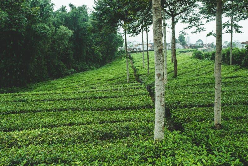在亚洲的山的茶灌木 免版税库存照片