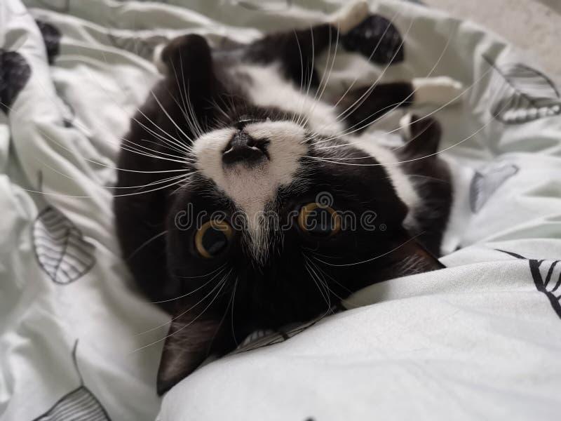 在亚麻布的早晨猫 库存照片