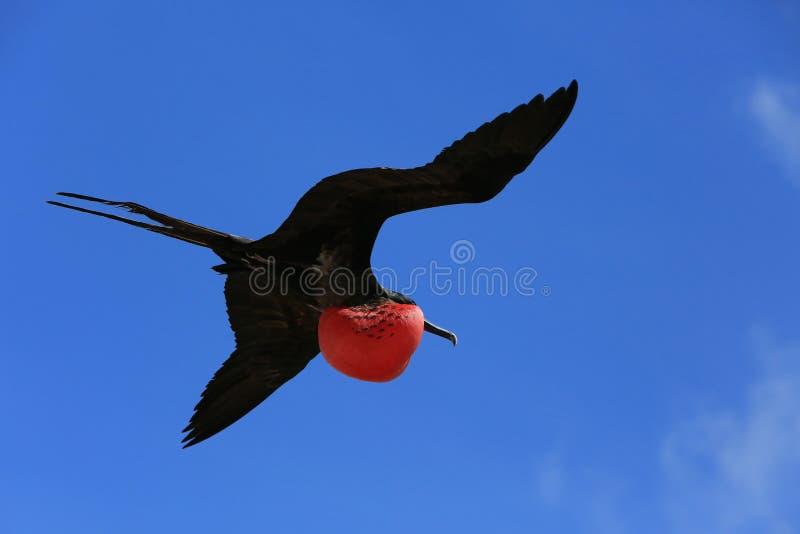 在交配季节期间的飞行公军舰鸟 免版税库存图片