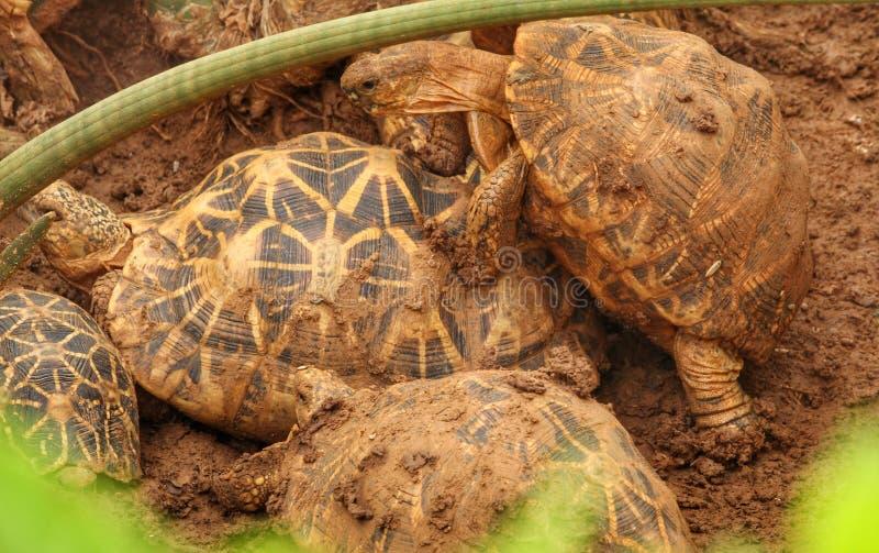 在交配季节的乌龟 免版税库存图片