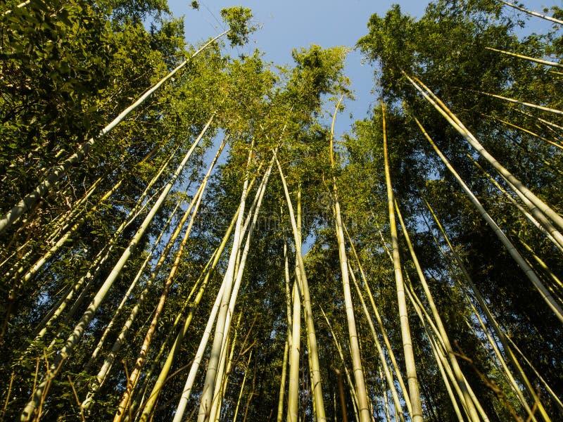在京都附近的竹森林Arashiyama ?? 免版税库存照片