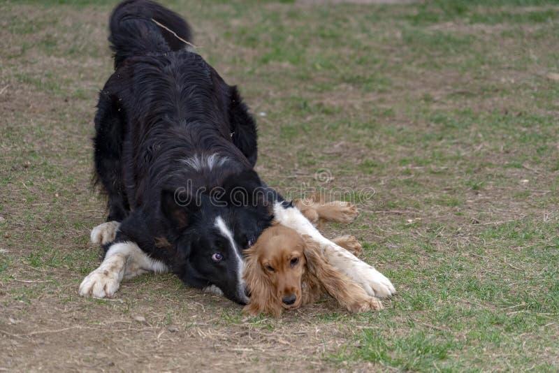 在亲吻小狗猎犬和博德牧羊犬的爱 免版税图库摄影